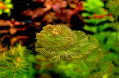 Plante de disc și acvariu
