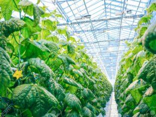 Cultivarea legumelor. POLONIA