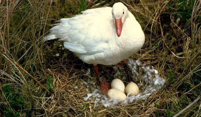 Ouă de incubație rațe marcate
