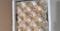 Инкубационные яйца индюка маркерованные