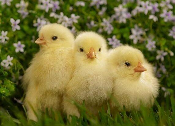 Pui de pui pentru incubație marcate de la păsări de curte