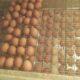 Инкубационные яйца Уток маркерованные